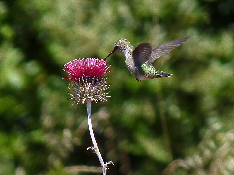 Anna's Hummingbird, <em>Calypte anna</em> <em>Circium occidentale var. venustum</em>, Venus Thistle Pilot Knob, Marin Municipal Water District, Marin Co., CA,  2010/06/25, jm2p288