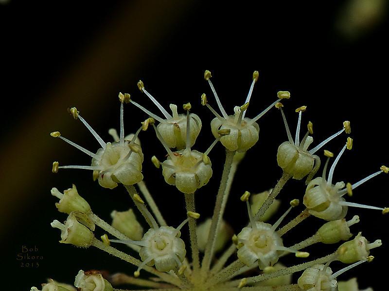 <em>Aralia californica</em>, Elk's Clover, native.  <em>Araliaceae</em> (Ginseng family). Sir Francis Drake Blvd., Inverness, Marin Co., CA, 2013/07/26, jm2p210