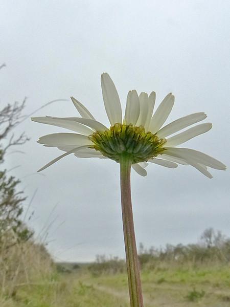 <em>Leucanthemum vulgare</em>, Ox-eye Daisy, Europe.  <em>Asteraceae</em> (= <em>Compositae</em>, Sunflower family). Point Reyes National Seashore, Marin Co., CA 1/31/12 jm2p377