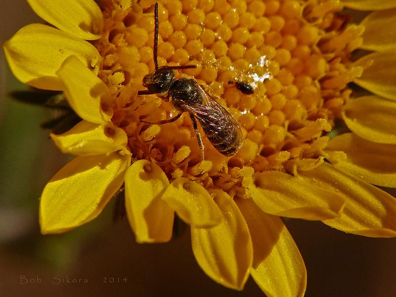 <em>Grindelia camporum</em>, Gumplant, native.  <em>Asteraceae</em> (= <em>Compositae</em>, Sunflower family).  jm2p336 <em>Halictus tripartitus</em>, Sweat Bee Edgewood County Park, San Mateo Co., CA, 2014/06/01