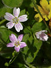 <em>Claytonia sibirica,</em> Siberian Springbeauty, native.  <em>Montiaceae (ex Portulacaceae)</em> (Miner's Lettuce family). Abbotts Lagoon, Point Reyes National Seashore, Marin Co., CA  2011/08/29  jm2p906