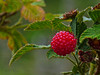 <em>Rubus spectabilis</em>, Salmonberry, native.  <em>Rosaceae</em> (Rose family). FW marsh nr. Sr. Francis Drake Blvd/Pierce Pt. Rd.  junction,Point Reyes National Seashore, Marin Co., CA, 2013/07/07, jm2p1204