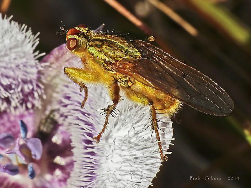 <em>Scathophaga</em> sp., dung fly; <em>Calochortus tolmiei,</em> Pussy Ears. Chimney Rock; Point Reyes National Seashore, Marin Co., CA, 2013/04/10.