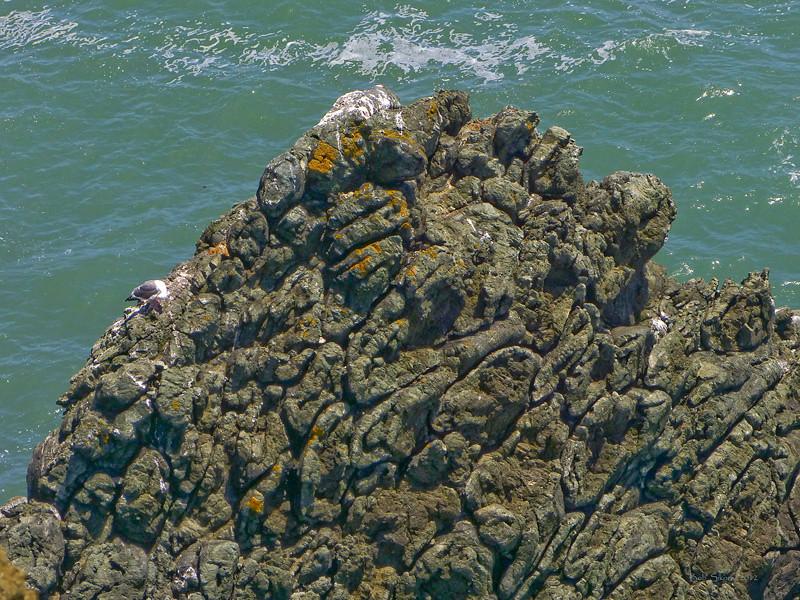 Pillow Basalt<br /> Point Bonita, Golden Gate National Recreation Area, Marin Co., CA  2012/06/11<br /> &#9664 Convolvulaceae ----- Crassulaceae &#9658