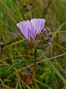 <em>Sidalcea calycosa ssp. rhizomata</em>, Point Reyes checkerbloom, native.  <em>Malvaceae</em> (Mallow family). Bull Point Trail, Point Reyes National Seashore, Marin Co., CA, 2013/07/07, jm2p891.