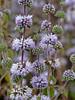 <em>Mentha pulegium</em>, Pennyroyal, Europe.  <em>Lamiaceae</em> (=<em>Labiatae</em>, Mint family). Millerton Point, Tomales Bay State Park, Marin Co., CA, 2013/07/15, jm2p840