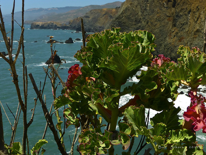 <em>One of the things that they grew in the garden was cabbage . . .</em> <em>Brassica oleracea,</em> Cabbage, Europe.  <em>Brassicaceae</em> (=<em>Cruciferae</em>, Mustard family). Point Bonita, Golden Gate National Recreation Area, Marin Co., CA,  2012/06/11,  jm2p532