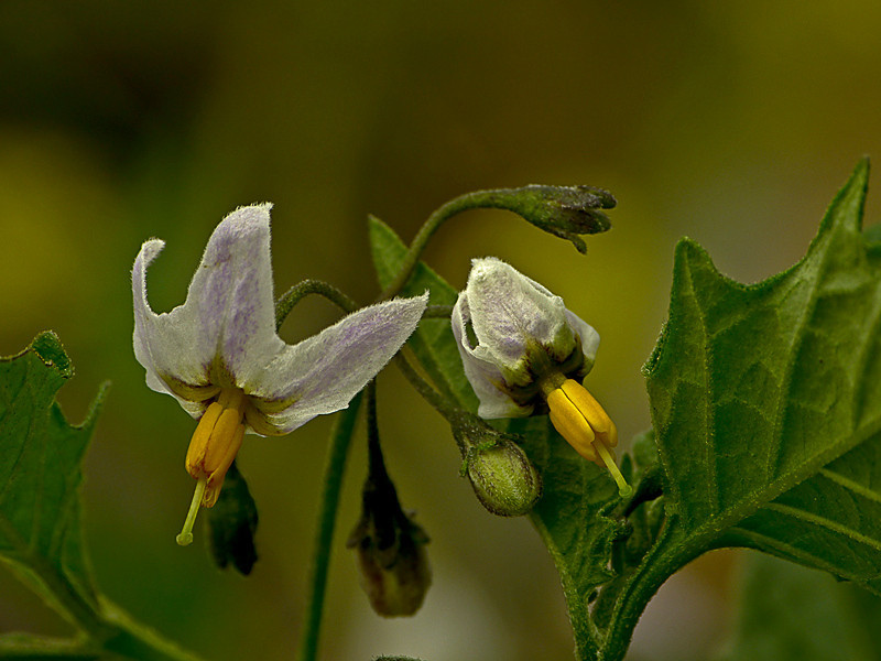 <em>Solanum douglasii</em>, Greenspot Nightshade, native.  <em>Solonaceae</em> (Nightshade family). Black Sand Beach Trail, Golden Gate National Recreation Area, Marin Co., CA  2012/06/01  jm2p1256
