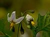 <em>Solanum douglasii</em>, Greenspot Nightshade, native.  <em>Solonaceae</em> (Nightshade family). Black Sand Beach Trail, Golden Gate National Recreation Area, Marin Co., CA  2012/06/01  jm2p1256