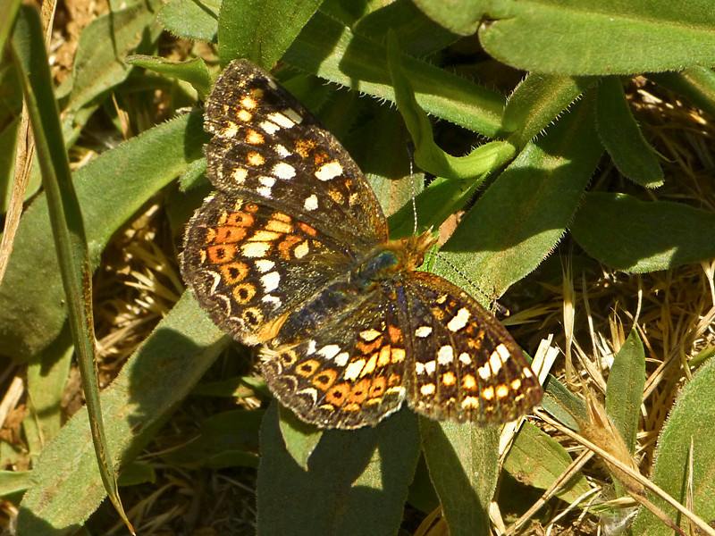 Field Crescent, <em>Phyciodes pulchellus</em> Black Sand Beach Trail, Golden Gate National Recreation Area, Marin Co., CA 2012/06/01