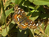 Field Crescent, <em>Phyciodes pulchellus</em> Black Sand Beach Trail, Golden Gate National Recreation Area, Marin Co., CA 2012/06/01