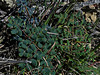 <em>Pellaea andromedifolia</em>, Coffee Fern, native.  <em>Pteridaceae</em> (Maidenhair family). Gull Rock footpath, Mt. Tamalpais State Park, Marin Co., CA, 2013/02/25, jm2p130.