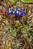 <em>Lupinus bicolor</em>, Miniature Lupine, native.  <em>Fabaceae</em> (=<em>Leguminosae</em>, Legume family). Bull Point, Point Reyes National Seashore, Marin Co., CA,  2015/04/06
