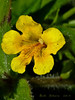 <em>Mimulus moschatus</em>, Musk Monkeyflower, native.  <em>Phyrmaceae</em>  (<em>Mimulus</em>) Ex <em>Scrophulariaceae</em>. Abbotts Lagoon, Point Reyes National Seashore, Marin Co., CA  2011/08/29  jm2p995