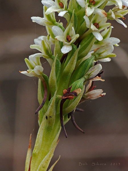 <em>Piperia elegans ssp. elegans</em>, Elegant Piperia, native.  <em>Orchidaceae</em> (Orchid family). Willow Creek, Monterey Co., CA, 2013/08/03, jm2p1404