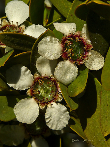 <em>Leptospermum laevigatum</em>, Australian Tea Tree, Australia.  <em>Myrtaceae</em> (Myrtle family). Point Bonita, Golden Gate National Recreation Area, Marin Co., CA, 2012/06/11,  jm2p916.