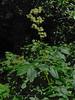 <em>Aralia californica</em>, Elk's Clover, native.  <em>Araliaceae</em> (Ginseng family). Sir Francis Drake Blvd., Inverness, Marin Co., CA, 2013/07/19, jm2p210