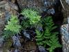 <em>Aspidotis densa</em>, Lace Fern, native.  <em>Pteridaceae</em> (Maidenhair family). <em>Pentagramma triangularis, ssp triangularis</em>, Gold-back Fern,native.  <em>Pteridaceae</em> (Maidenhair family). The Cedars, Sonoma Co., CA, 2014/04/27