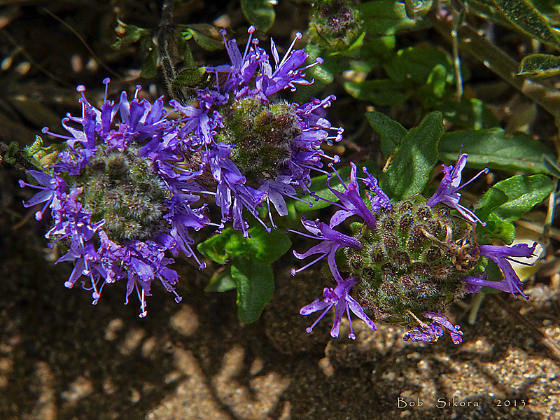 <em>Monardella sinuata ssp. nigrescens</em>, Curly-leaved Monardella, native.  <em>Lamiaceae</em> (=<em>Labiatae</em>, Mint family). Bull Point Trail, Point Reyes National Seashore, Marin Co., CA, 2013/07/07, jm2p849