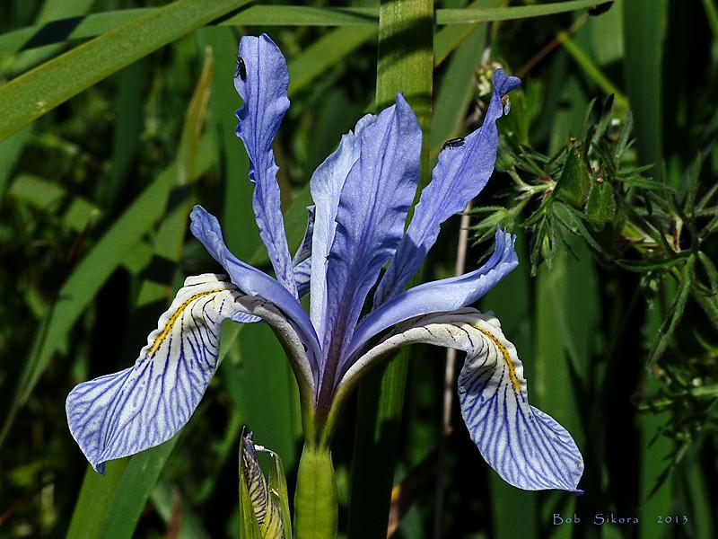 <em>Iris longipetela</em>, Coast Iris, native.  <em>Iridaceae</em> (Iris family). Nicasio Reservoir, Marin County, CA, 2013/05/01, jm2p1359.