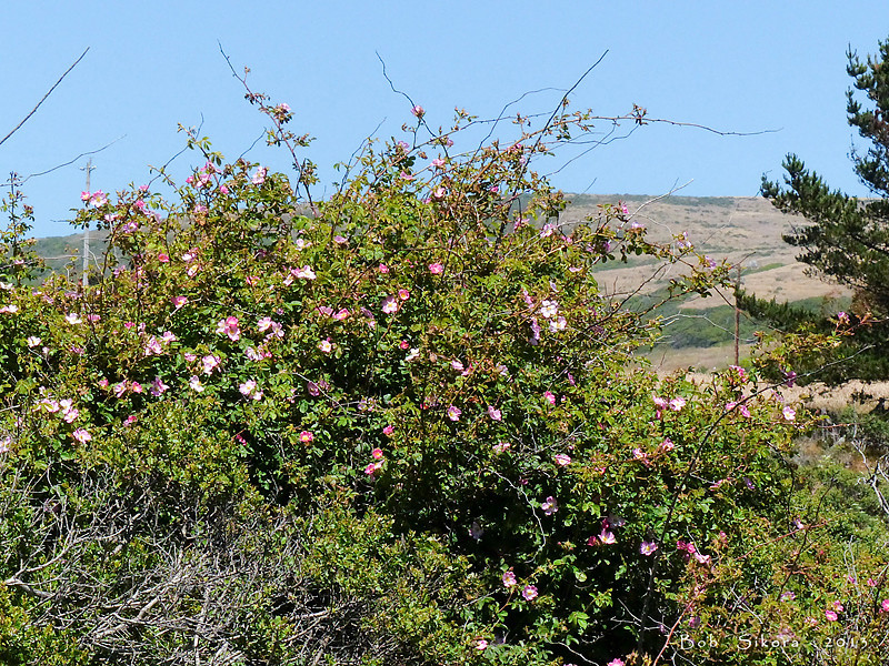 <em>Rosa rubiginosa</em>, Sweet Brier, naturalizing invasive weed, Europe.  <em>Asteraceae</em> (= <em>Compositae</em>, Sunflower family). Millerton Point, Tomales Bay State Park, Marin Co., CA, 2013/06/22, jm2p1201