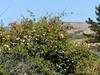 <em>Rosa rubiginosa</em>, Sweet Brier, naturalizing invasive weed, Europe.  <em>Asteraceae</em> (= <em>Compositae</em>, Sunflower family). Millerton Point, Tomales Bay State Park, Marin Co., CA, 2013/06/22, jm2p1201
