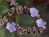 <em>Limonium ramosissimum</em>, Algerian Sea Lavender, Mediterranean.  <em>Plumbaginaceae (Leadwort family). Ocean Beach, San Diego, San Diego Co., CA, 2013/08/08, jm2p1035