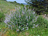 <em>Lupinus arboreus</em>, Yellow Bush Lupine, native.  <em>Fabaceae</em> (=<em>Leguminosae</em>, Legume family). Tomales Bay Trail, Point Reyes National Seashore, Marin Co., CA, 2013/05/03, jm2p769.