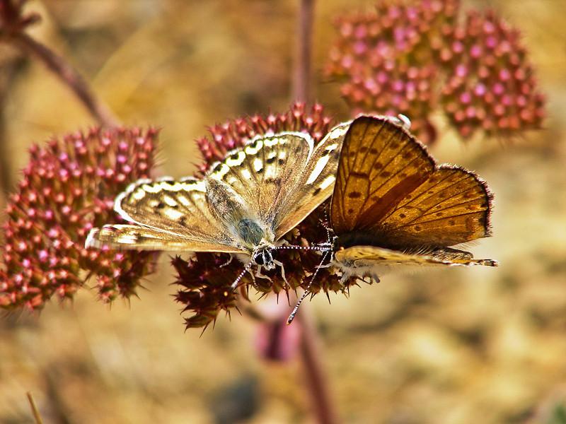 Gorgon Copper, <em>Lycaena gorgon</em>, f. & m. Silver Peak Wilderness, Santa Lucia Mtns. Monterey Co., CA  6/16/09