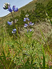 <em>Lupinus nanus</em>, Sky Lupine, native.  <em>Fabaceae</em> (=<em>Leguminosae</em>, Legume family). Kirby Cove, Golden Gate National Recreation Area, Marin Co., CA 2012/04/07 jm2p774