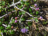 <em>Ceanothus jepsonii var. jepsonii</em>, Musk Brush, native.  <em>Rhamnaceae</em> (Buckthorn family). East Peak, Mt. Tamalpais State Park, Marin Co., CA, 2014/03/15, jm2p1158