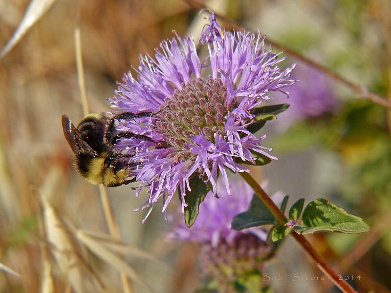 <em>Monardella villosa ssp. villosa</em>, Coyote Mint <em>Bombus vosnesenskii</em>, Yellow-faced Bumble Bee, m. Edgewood County Park, San Mateo Co., CA, 2014/06/01