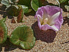 <em>Calystegia soldanella</em>, Beach Morning Glory, native.  <em>Convolvulaceae</em> (Morning-glory family). Abbotts Lagoon, Point Reyes National Seashore, Marin Co., CA, 2013/04/17, jm2p658