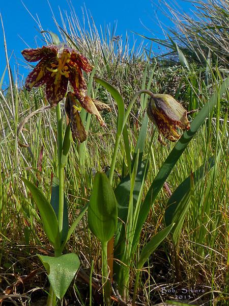 <em>Fritillaria affinis</em>, Mission Bells, Checker Lily, native.   <em>Liliaceae</em> (Lily family). San Bruno Mountain, San Mateo County, CA,  2013/03/10,  jm2p1388