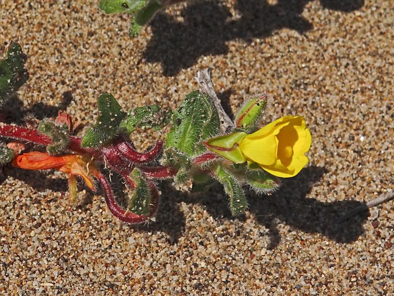 <em>Camissoniopsis (ex Camissonia) cheiranthifolia</em>, Beach-primrose, native.  <em>Onagraceae</em> (Evening Primrose family). Abbotts Lagoon, Point Reyes National Seashore, Marin Co., CA 8/29/2011  jm2p928