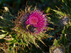 Cirsium andrewsii, Franciscan Thistle<br /> Point Reyes, Point Reyes National Seashore, Marin Co., CA