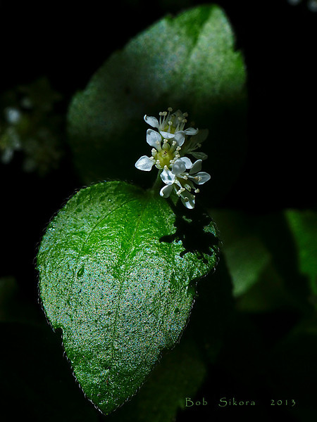 <em>Whipplea modesta</em>, Modesty, native.  <em>Hydrangeaceae</em> (Hydrangea family). Samuel P. Taylor State Park, Marin Co., CA, 2013/05/12, jm2p830