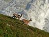 Black-tailed Deer, <em>Odocoileus hemionus</em> Point Reyes, Point Reyes National Seashore, Marin Co., CA, 2013/04/10