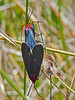 <em>Ctenucha multifaria</em> Millerton Point, Tomales Bay State Park, Marin Co., CA, 2013/06/22  &#9664  Campanulaceae ----- Caprifoliaceae &#9658