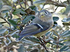 Ruby-crowned Kinglet, <em>Regulus calendula</em> Coastal Trail, Golden Gate National Recreation Area, Marin Co., CA  2013/01/28