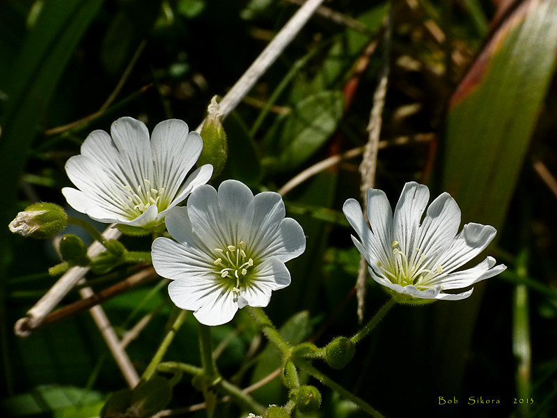 <em>Cerastium viride</em>, Western Field Mouse-ear Chickweed, native.  <em>Caryophyllaceae</em> (Pink family). Chimney Rock, Point Reyes, Point Reyes National Seashore, Marin Co., CA, 2011/03/28 jm2p606
