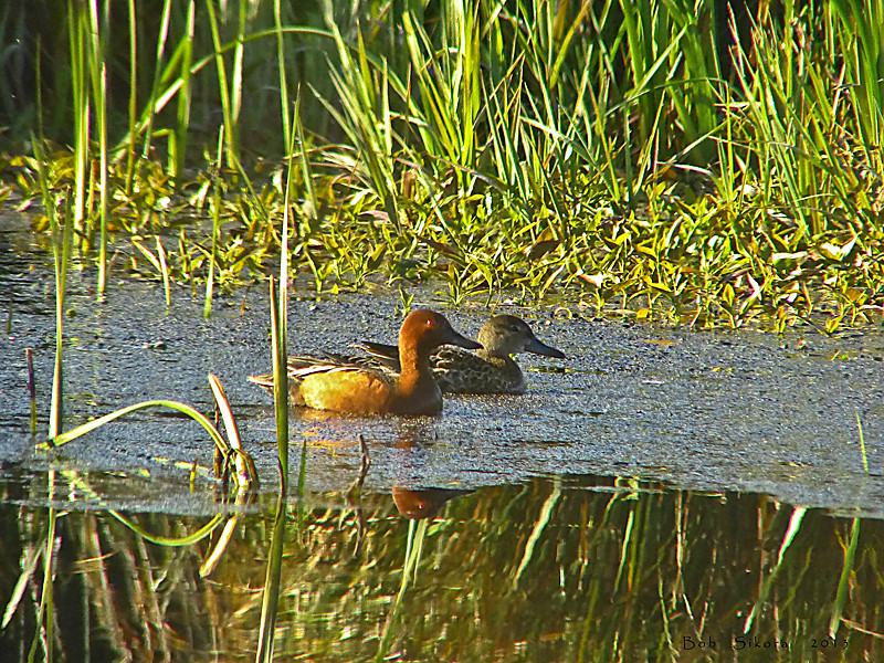 Cinnamon Teal, <em>Anas cyanoptera</em> Abbotts Lagoon, Point Reyes National Seashore, Marin Co., CA, 1013/04/17