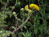 <em>Eriophyllum staechadifolium</em>, Seaside Wooly Sunflower,  native.  <em>Asteraceae</em> (= <em>Compositae</em>, Sunflower family).  Bixby Mtn., Point Sur, Monterey Co., CA  6/15/09  jm2p326