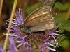 <em>Monardella villosa ssp. villosa</em>, Coyote Mint <em>Coenonympha tullia california</em>, California Ringlet Edgewood County Park, San Mateo Co., CA, 2014/06/01