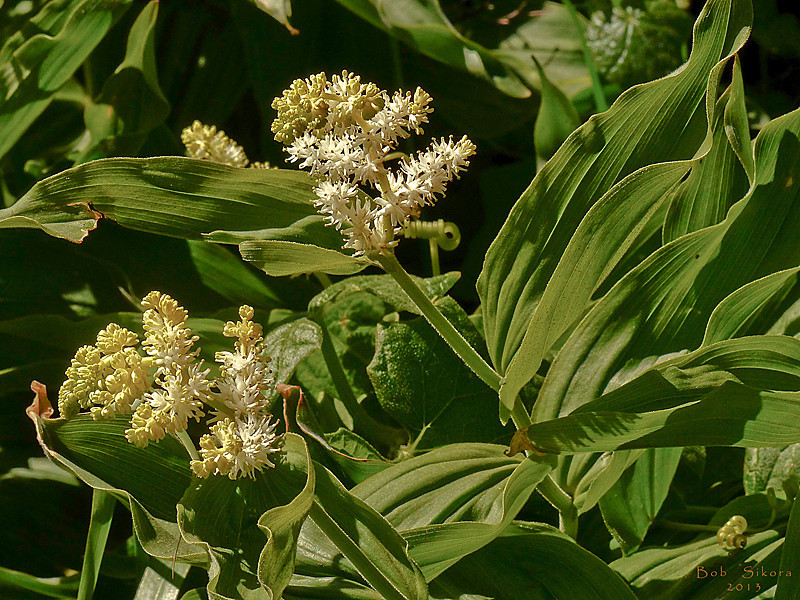 <em>Maianthemum racemosum</em>, Feathery False Lily of the Valley, native.  <em>Ruscaceae</em> (Butcher's-broom family). Abbotts Lagoon, Point Reyes National Seashore, Marin Co., CA, 2013/04/17, jm2p1504