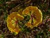 <em>Lotus corniculatus</em>, Bird's Foot Trefoil, Eurasia.  <em>Fabaceae</em> (=<em>Leguminosae</em>, Legume family). Millerton Point, Tomales Bay State Park, Marin Co., CA, 2013/06/22,  jm2p764
