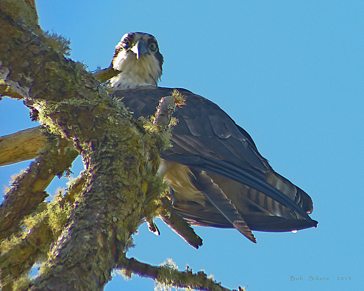 Osprey, <em>Pandion haliaetus</em> Point Reyes National Seashore, Marin County, CA, 2013/03/11 &#9664 Hydrangeaceae ----- Hypericaceae &#9658