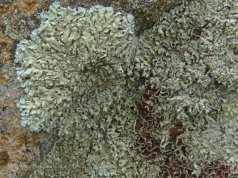 <em>Xanthoparmelia lineola</em> Olompali State Park, Marin Co., CA, 2014/02/15