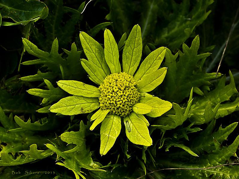 <em>Sanicula arctopoides</em>, Footsteps-of-spring, native.  <em>Apiaceae</em> (= <em>Umbelliferae</em>, Parsley family). Slide Ranch, Golden Gate National Recreation Area, Marin Co., CA, 2013/01/28, jm2p198