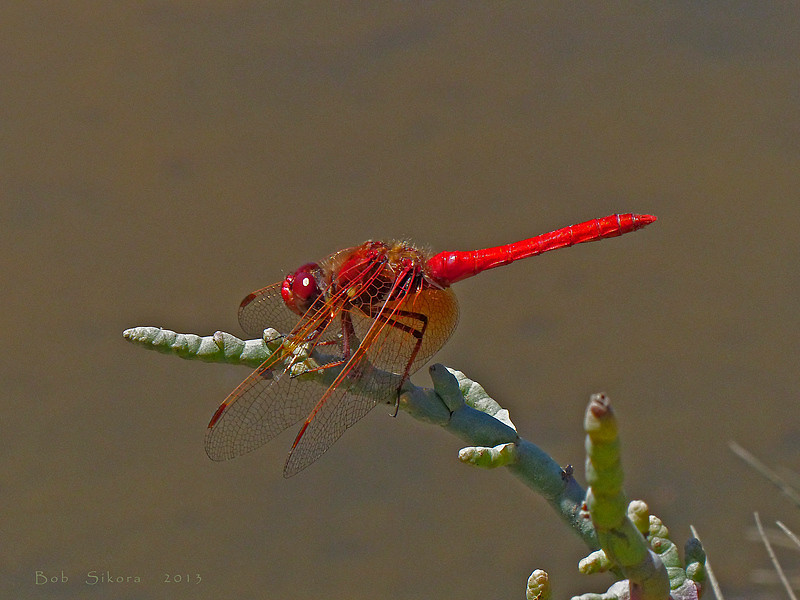 Cardinal Meadowhawk, <em>Sympetrum illotum</em> Millerton Point, Tomales Bay State Park, Marin Co., CA, 2013/06/22 &#9664 Fabaceae ----- Frankeniaceae &#9658